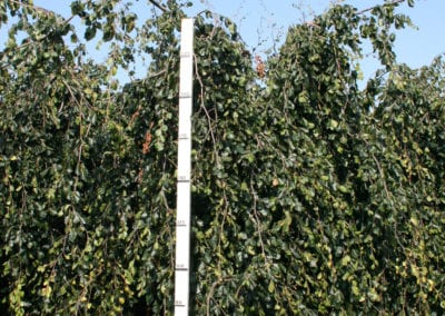 Fagus syl. 'Pendula' 20-25Ho gev 225cm.