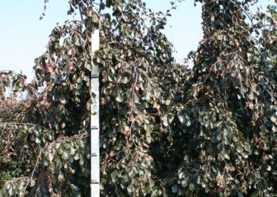 Fagus syl. 'Purple Fountain' 20-25Ho 300-350