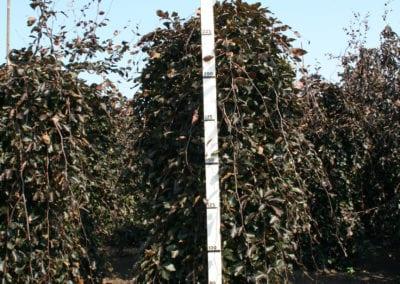 Fagus syl. 'Purpurea Pendula' 20-25Ho 250