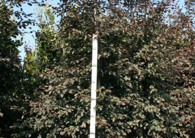 Fagus syl. 'Purpurea Tricolor' 18-20Ho Sol Gev