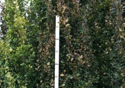 Fagus syl. 'Rohan Obelisk' 18-20Ho 300-350