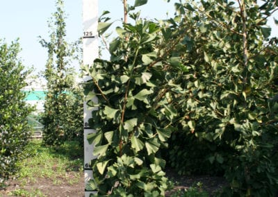Ginkgo biloba 'Tremonia' 150-175