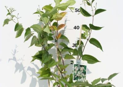 Heptacodium miconioides 40-60 C3
