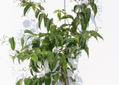Heptacodium miconioides 80-100 C7.5 Flowers