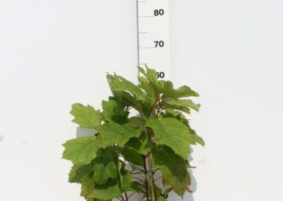 Hydrangea querc. 'Amethyst' 50-60 C3