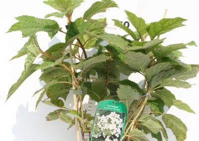 Hydrangea querc. 'Pee Wee' 40-50 C3