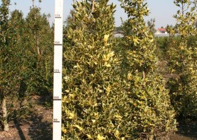 Ilex altaclerensis 'Belgica Aurea' 200-225-250