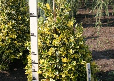 Ilex altaclerensis 'Golden King' 100-125 Sol.