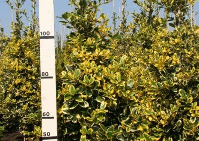 Ilex altaclerensis 'Golden King' 125-150