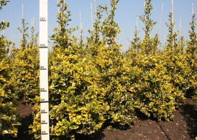 Ilex altaclerensis 'Golden King' 125-150kl
