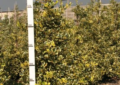 Ilex altaclerensis 'Golden King' 175-200