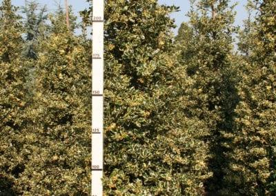 Ilex aq. 'Argentea Marginata' 250-275 Sol.