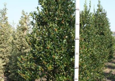 Ilex aq. 'Limsi' (Siberia) 275-300 Sol