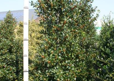 Ilex aq. 'Pyramidalis 250-275