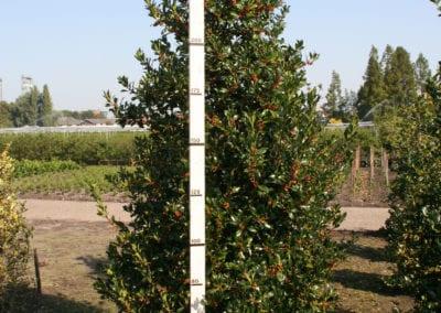 Ilex aq. 'Pyramidalis' 275-300 Sol