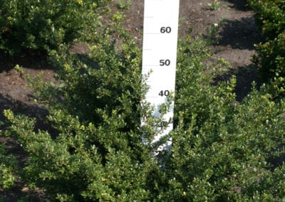 Ilex crenata 'Green Gloss' 40-50