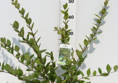 Lonicera fragrantissima 40-50 C3