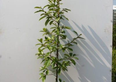 Magnolia 'Fairy Blush' 150-175 c10
