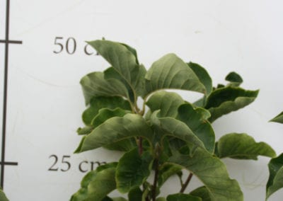 Magnolia 'Sunsation' 40-50
