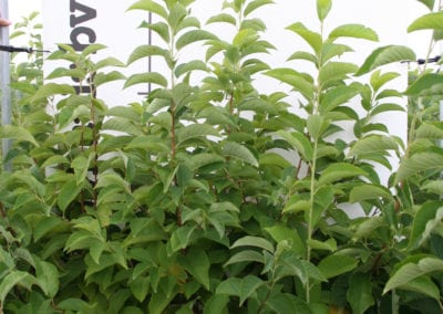 Magnolia kobus 100-125