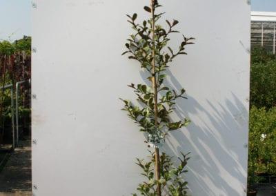 Magnolia l. 'Gails Favourit' 175-200 C10