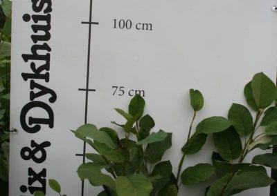 Magnolia sieboldii 60-80