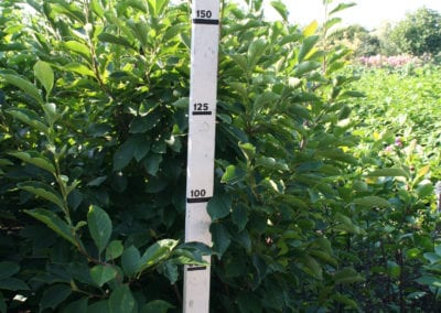 Magnolia soul. 'Alba Superba' 175-200