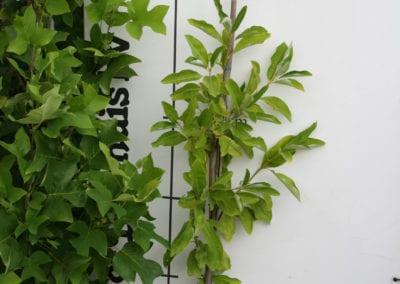 Magnolia virginiana 125-150