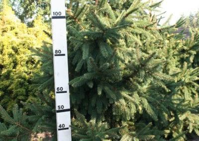 Picea abies 'Acrocona' 100-125