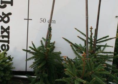 Picea abies 'Acrocona' 40-50-60