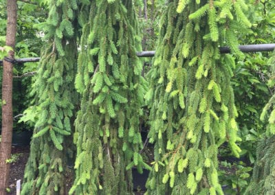 Picea abies 'Inversa' 175-200 LAAG c35
