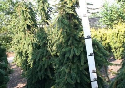 Picea abies 'Inversa' 200-225
