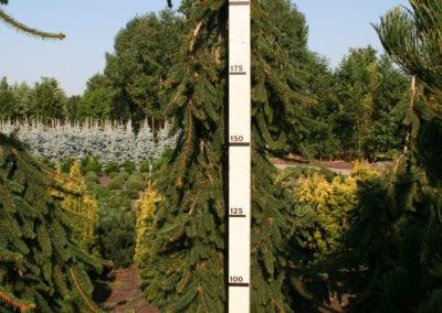 Picea abies 'Inversa' 225-250