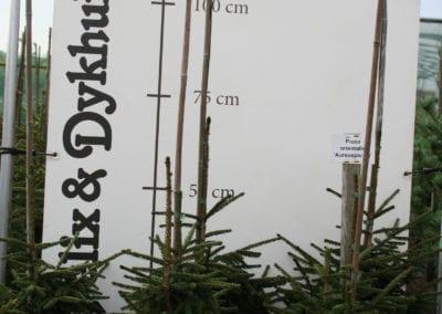 Picea abies 'Inversa' 60-80