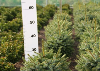 Picea omorika 'Nana' 30-35