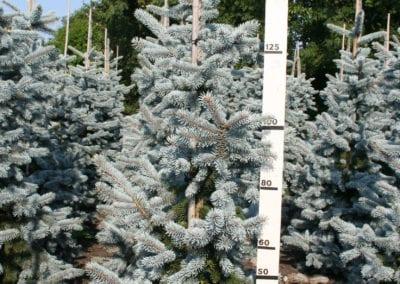 Picea pungens 'Hoopsii' 150-175