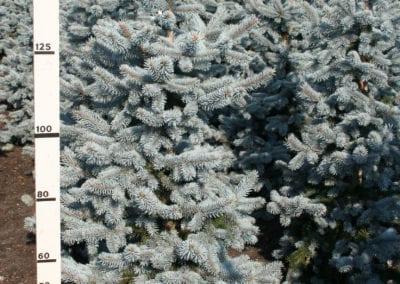 Picea pungens 'Hoopsii' 175-200