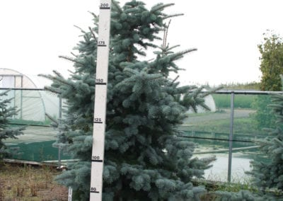 Picea pungens 'Koster' 200-225