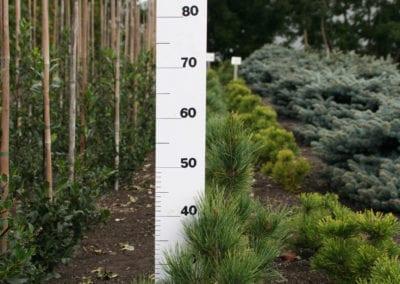 Pinus cembra 40-50