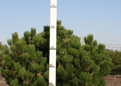 Pinus heldreichii 'Compact Gem' 150+ Sol