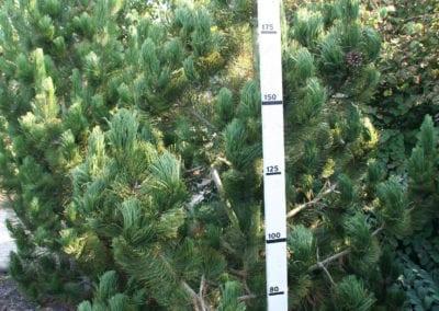 Pinus heldreichii 'Satellit' 250-275