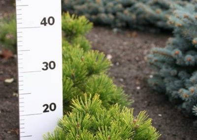 Pinus m. Winter Gold 20-25-30
