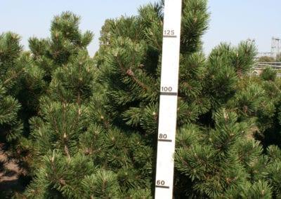 Pinus mugo 'Gnom' 150-175 Sol