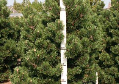 Pinus mugo 'Gnom' 175-200 Sol