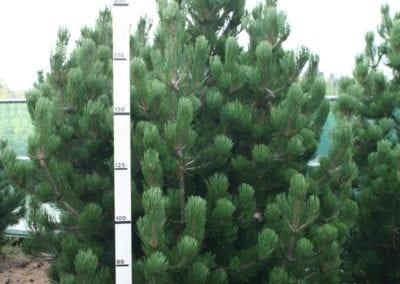 Pinus mugo 'Gnom' 200-225 Sol.