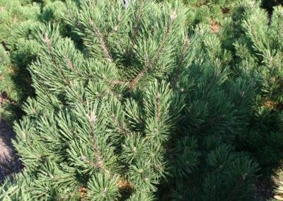 Pinus mugo 'Gnom' 70- 80