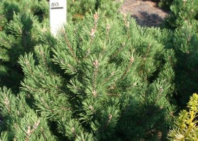 Pinus mugo 'Gnom' 70- 80,KL