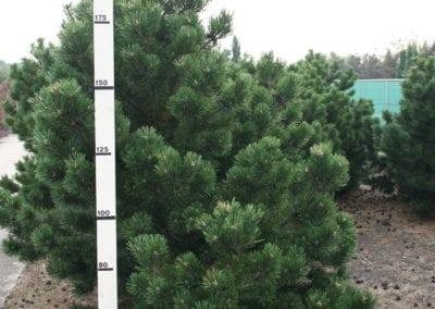 Pinus mugo 'Gnom' Sol. 175-200