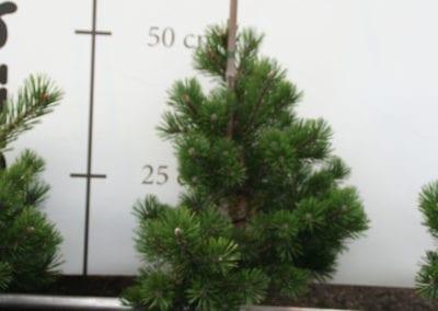Pinus mugo 'Gnom'40-50