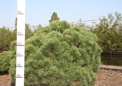 Pinus mugo 'Mops' 100 Sol
